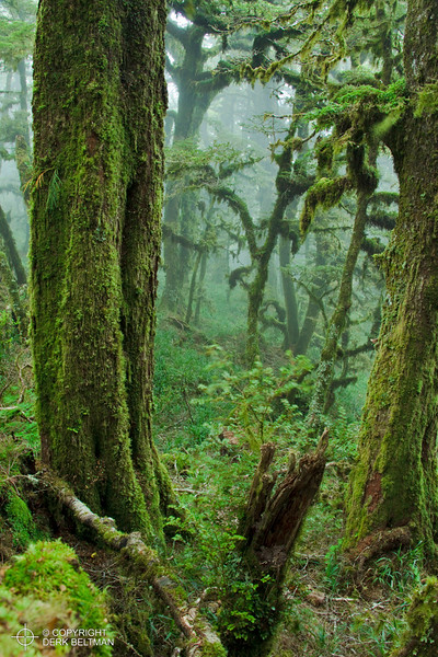 Misty forest, Panekire Bluff, Te Urewera National Park, North Island, New Zealand