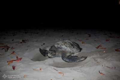 Hawksbill turtle on nesting beach, Central Pacific Coast, Puntarenas, Costa Rica