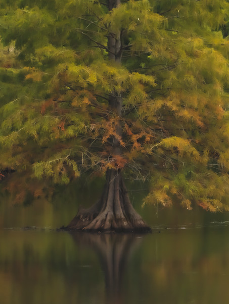 A Bald Cypress in the Wetlands