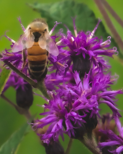 A Bee on Trumpetweed