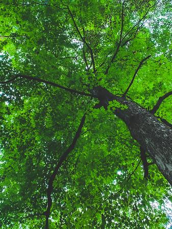 A Beautiful Maple Tree
