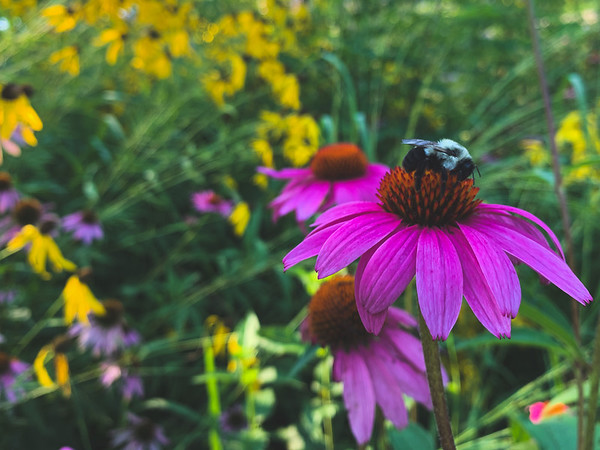 A Bee on a  Coneflower