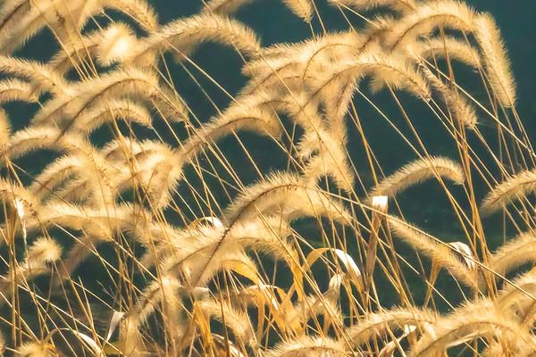 Golden Foxtails