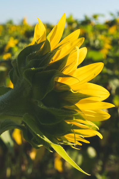Sunflower bathing in the Sun!