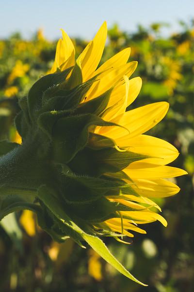 Sunflower bathing in the Sun!