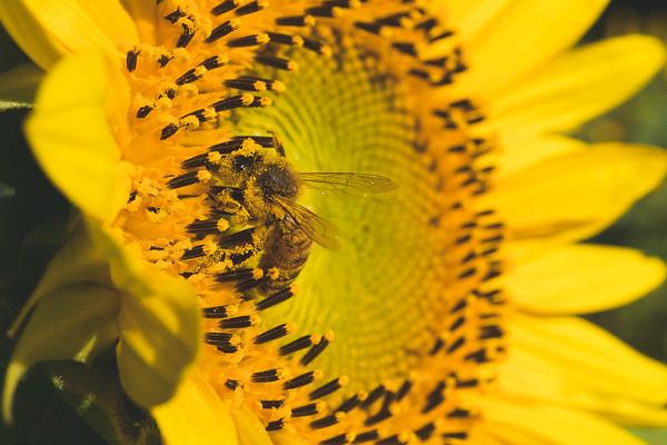 Bee on a Sunflower!