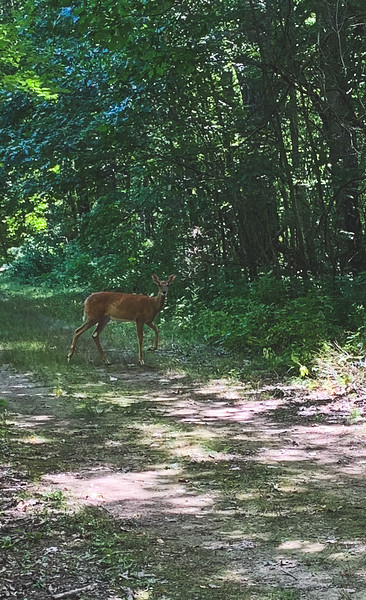 A Deer along the Trail