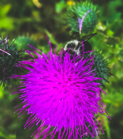 A Bee on Bull Thistle