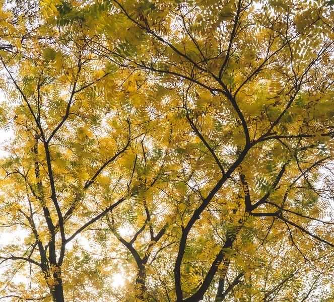 A Beautiful Walnut Tree