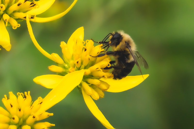 A Bee on a Wingstem flower