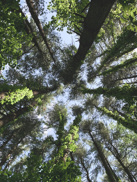 More Tall Pine Trees