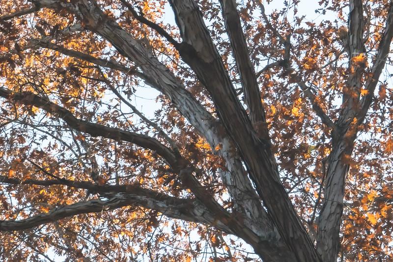 Colorful Shagbark Hickory Tree