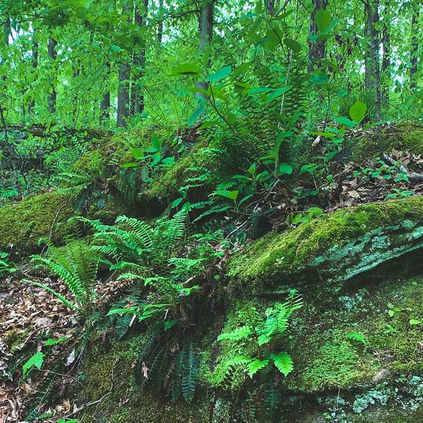 Ferns and Moss among the Rocks