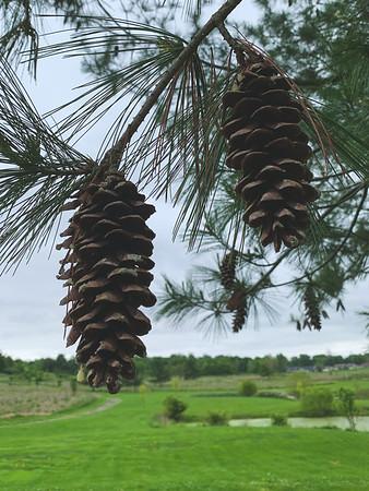 Eastern White Pinecones