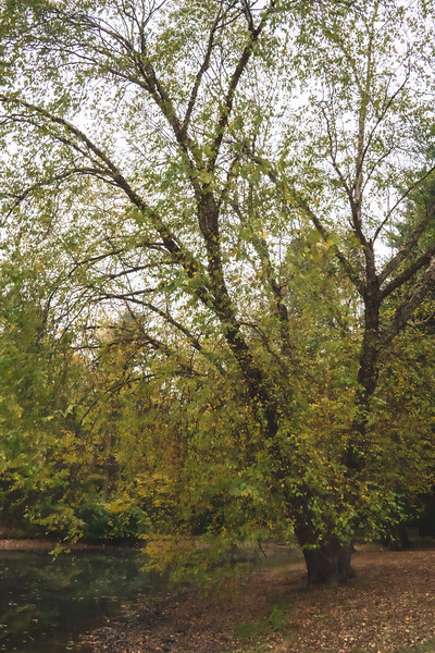 Tree along the Pond