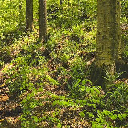 Ferns on the Hillside