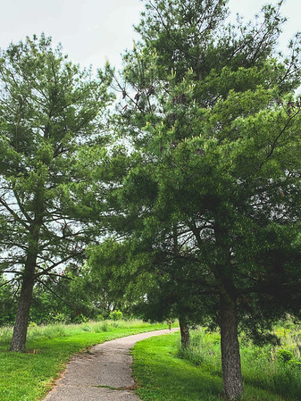 Pine Trees along the Path