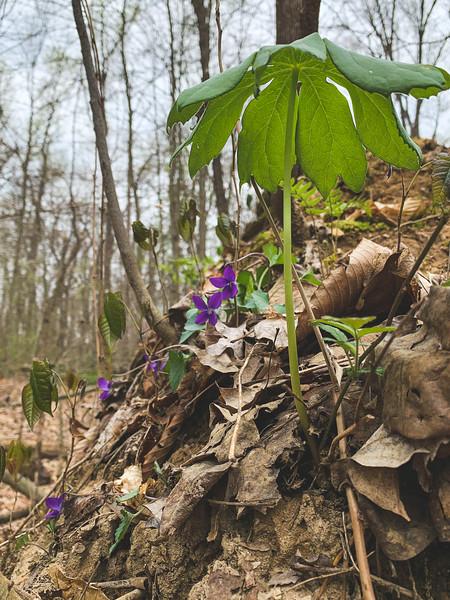 A Mayapple and Violets