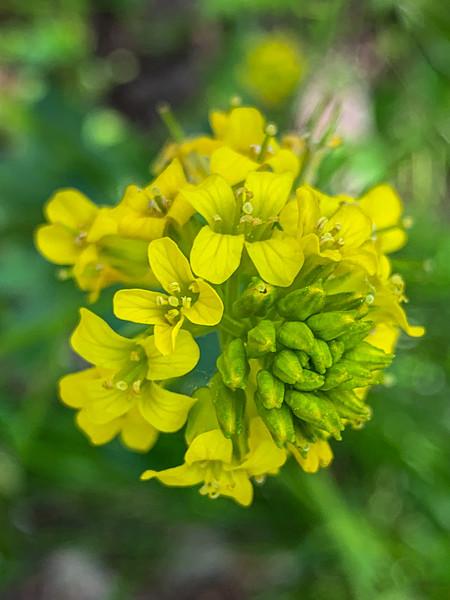Garden Yellowrocket