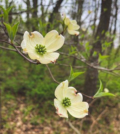 Tiny Dogwood Blooms
