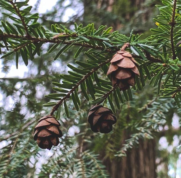 Tiny Pinecones!