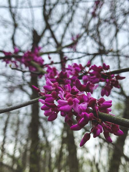Redbud Tree Blooms