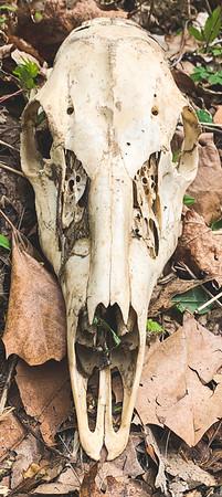 Skull of ?