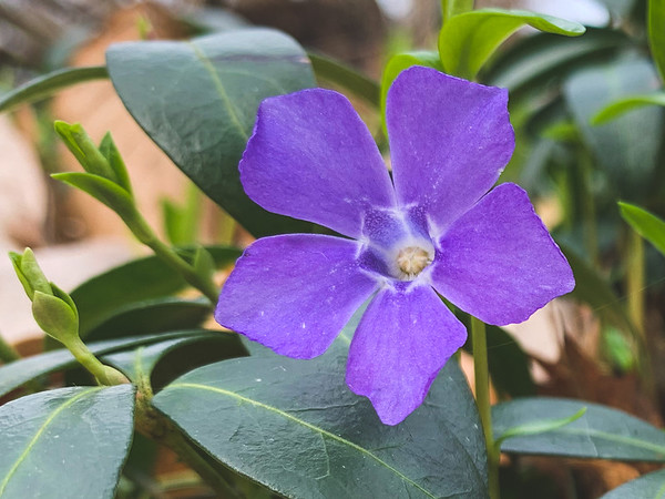 Periwinkle in several places along the trail!