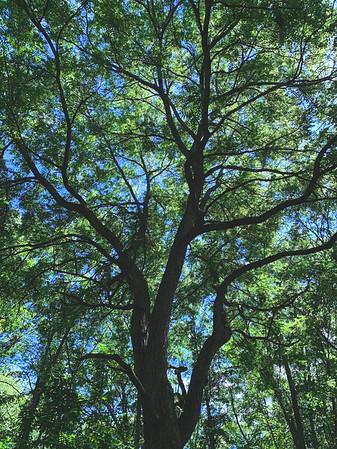 A large Walnut tree!