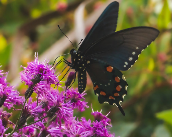 A Pipevine Swallowtail Butterfly on Trumpetweed