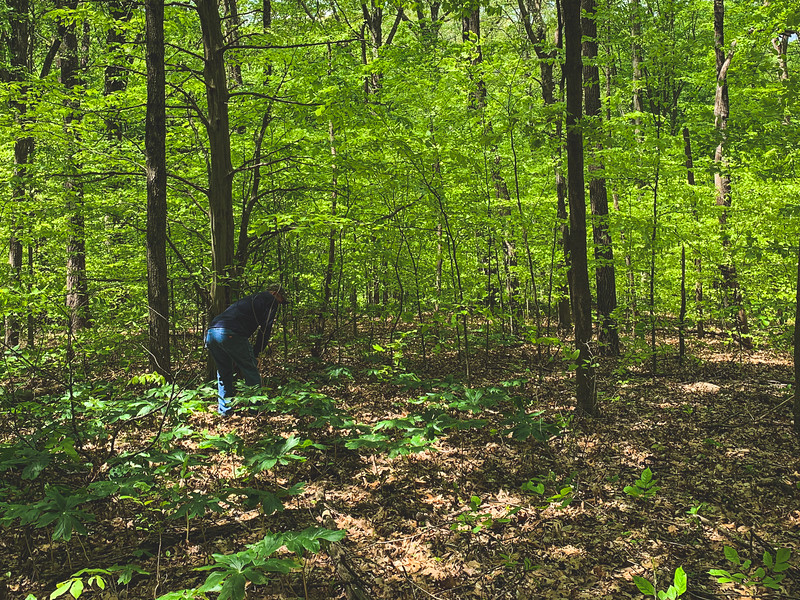 Hunting for Morels!