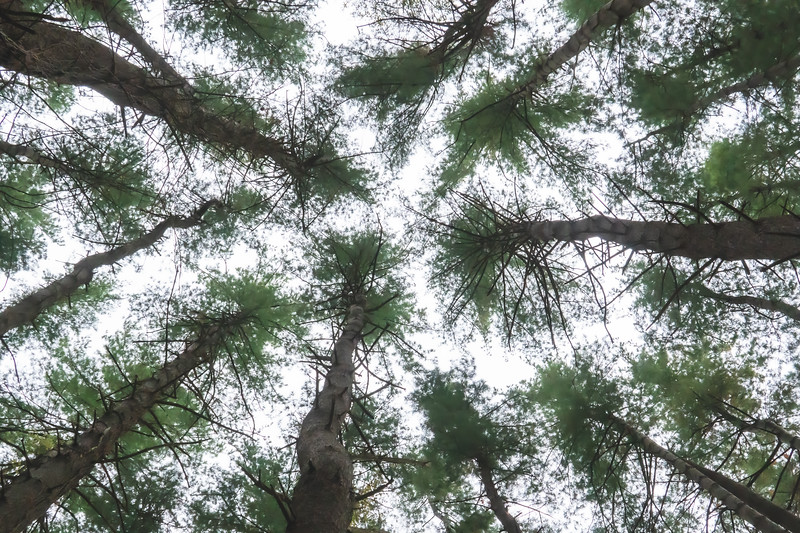 Pine Trees in the Sky