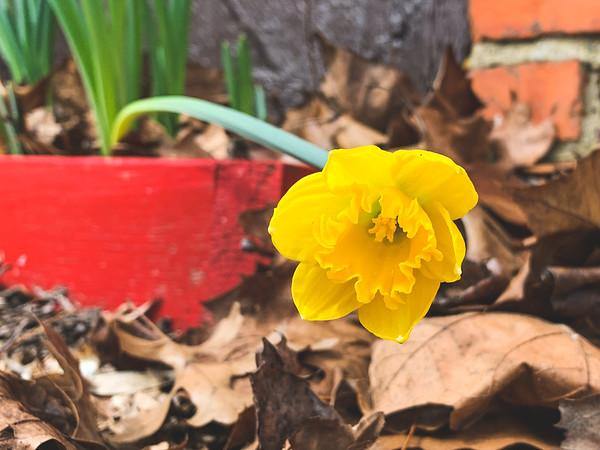 Daffodil!!!