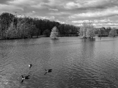 Canadian Geese on the Wetland Area Lake