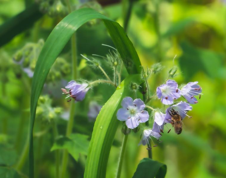 A Bee on Great Waterleaf Flowers