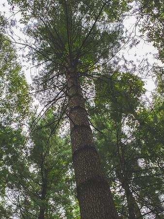 A Tall Pine Tree