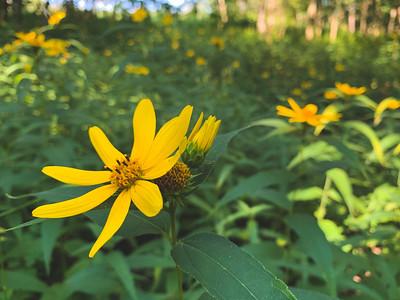 False Sunflowers
