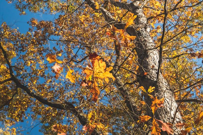 Colorful  Oak Trees
