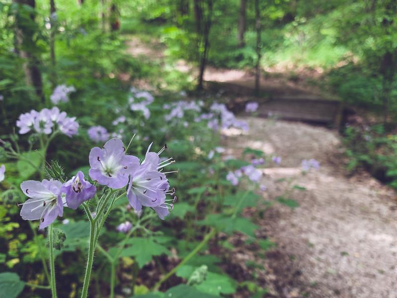 Great Waterleaf along the Trail