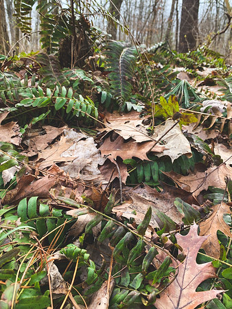 Ferns that made it through the winter