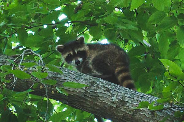 A Baby Raccoon!