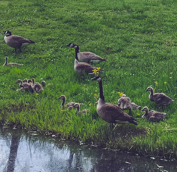 A Gaggle of Geese!