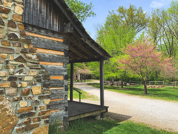 Fading Redbud blooms among the Log Cabins