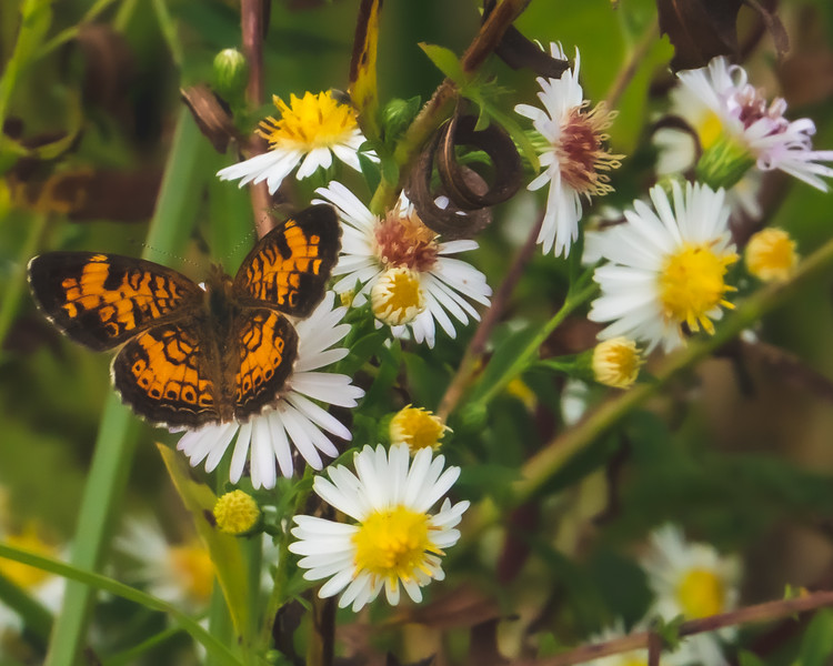 A Silvery Checkerspot Butterfly on White-Panicle Asters