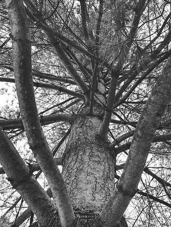 I love Pine Trees!