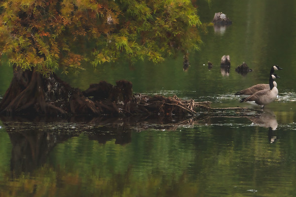 Canadian Geese (there is a turtle on the stump as well)