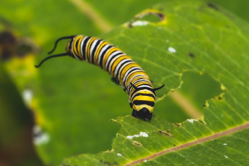 A Monarch Butterfly Caterpillar
