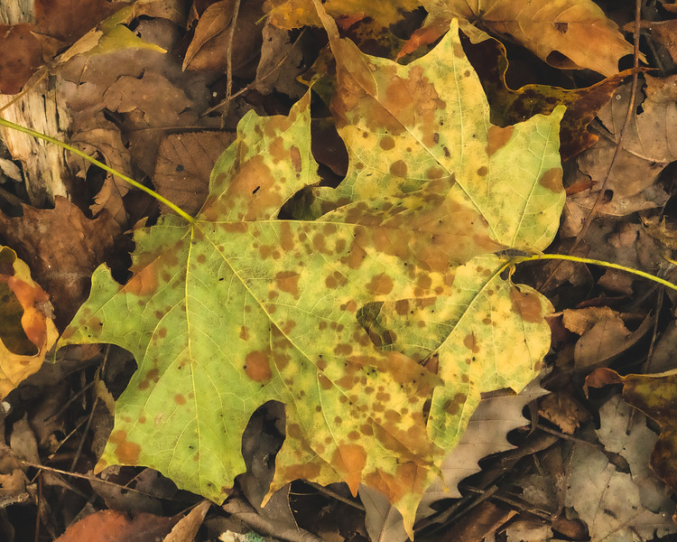 Colorful Fallen Leaves