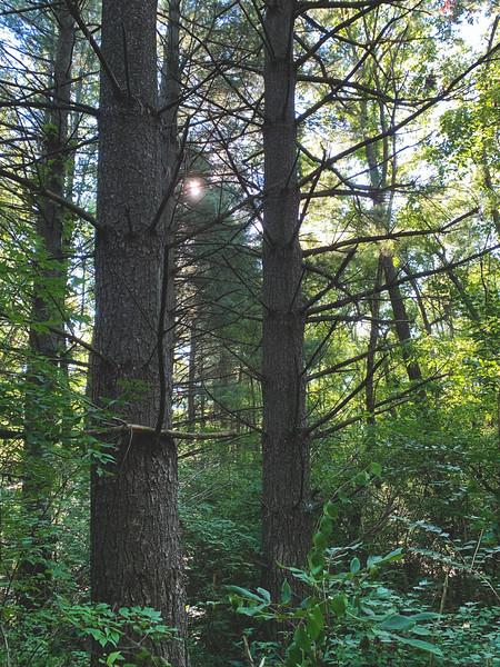 Pine Trees!