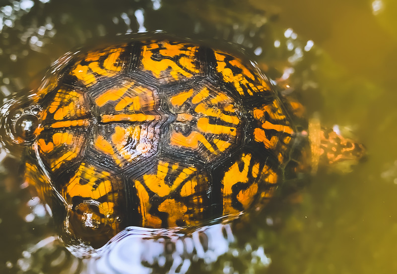 A Turtle in the Stream